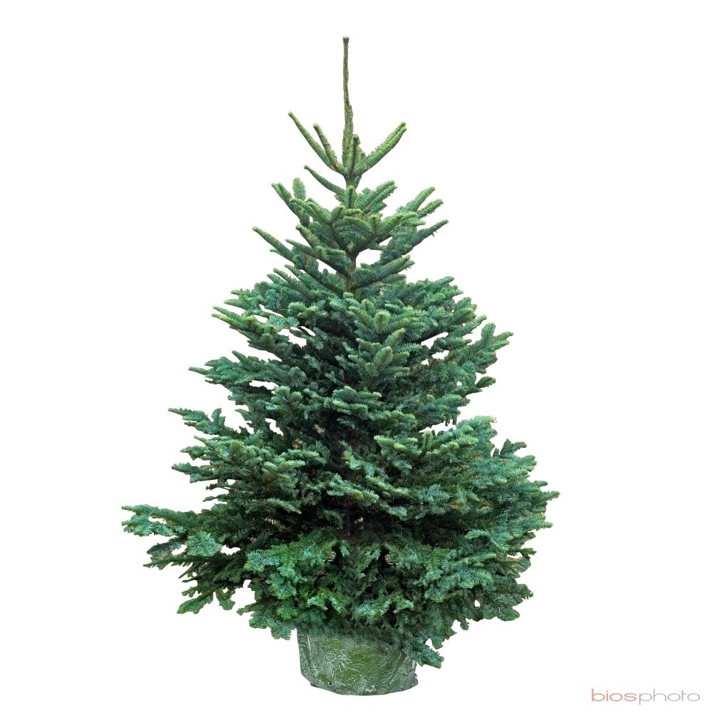 Comment bien choisir son sapin de Noël — Lacroix Jardins