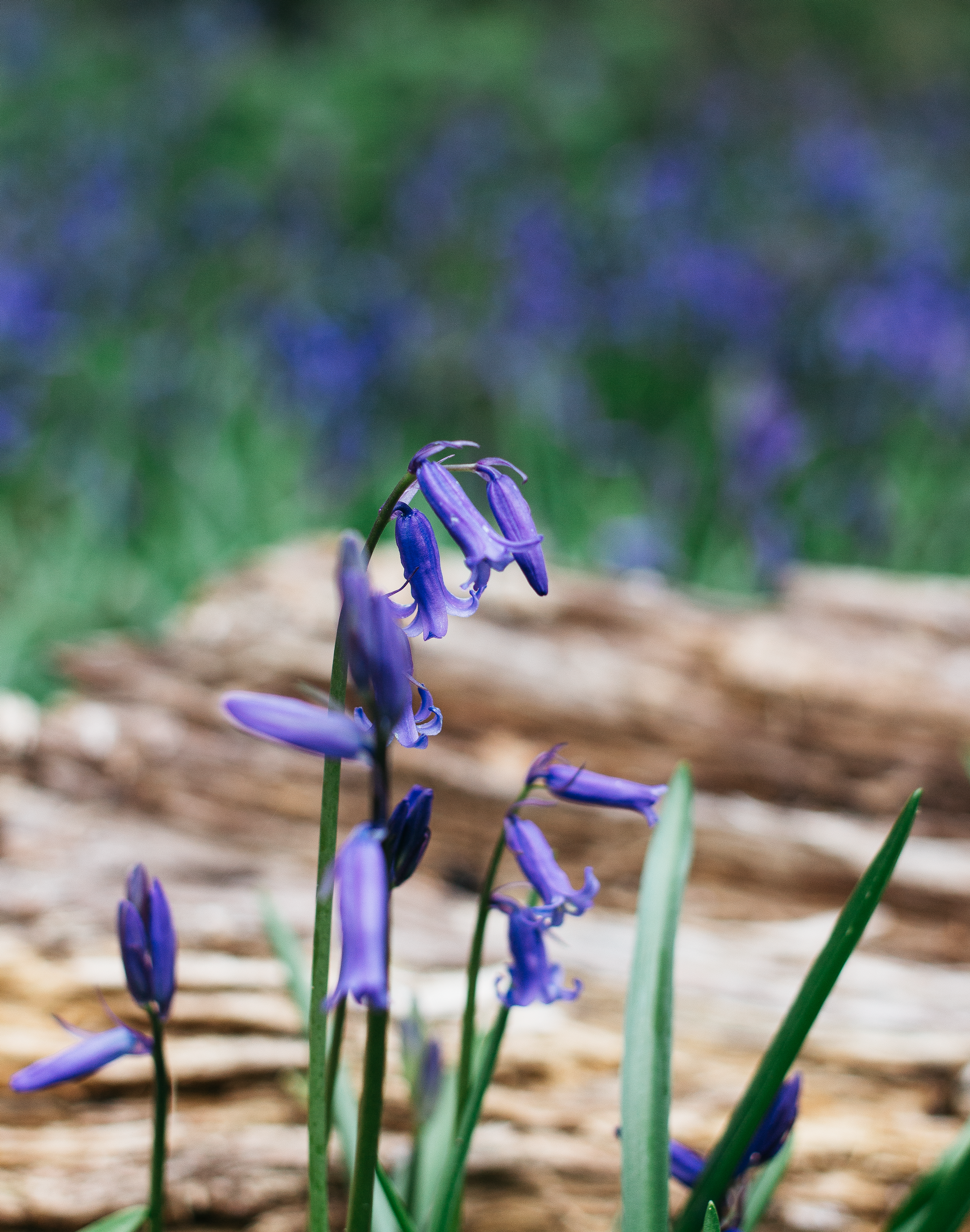 From-Roses---Bluebells-4.PNG