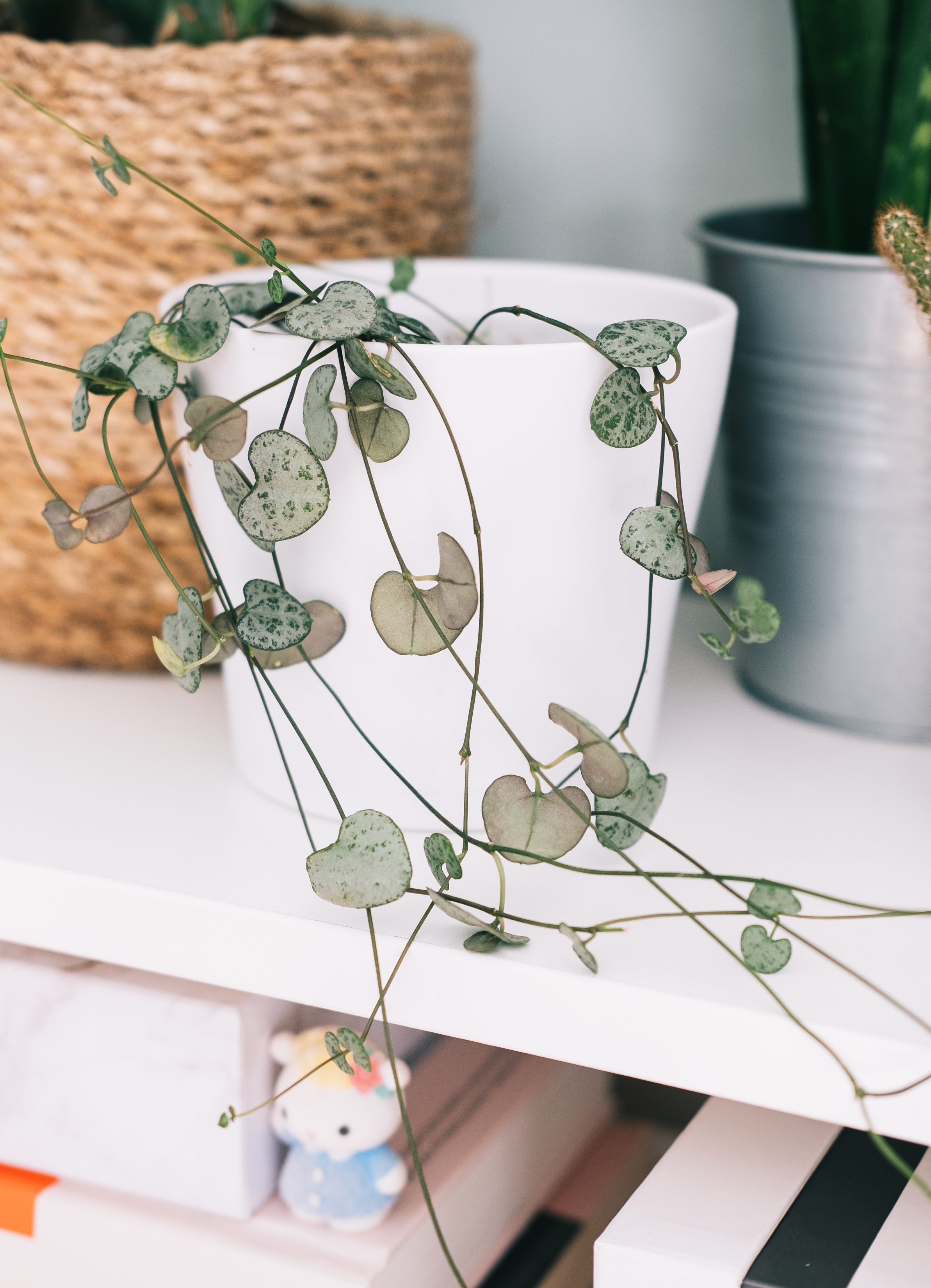 CEROPEGIA WOODII (STRING OF HEARTS) - I always looked at these plants and thought they might be really difficult to look after but it turns out they're incredibly simple to tend to. They're a trailing plant and can grow up to 5ft. Their roots are very delicate so you do want to handle them with care as you will need to give this plant a little trim every so often to encourage new growth and to prevent any tangling. I keep mine in a reasonable amount of sunlight but they're generally quite happy in most spots but probably won't thrive anywhere really dim. Due to the skinny roots, this means overwatering is common and it's easy to get root rot so wait until the soil is somewhat dry until watering again.