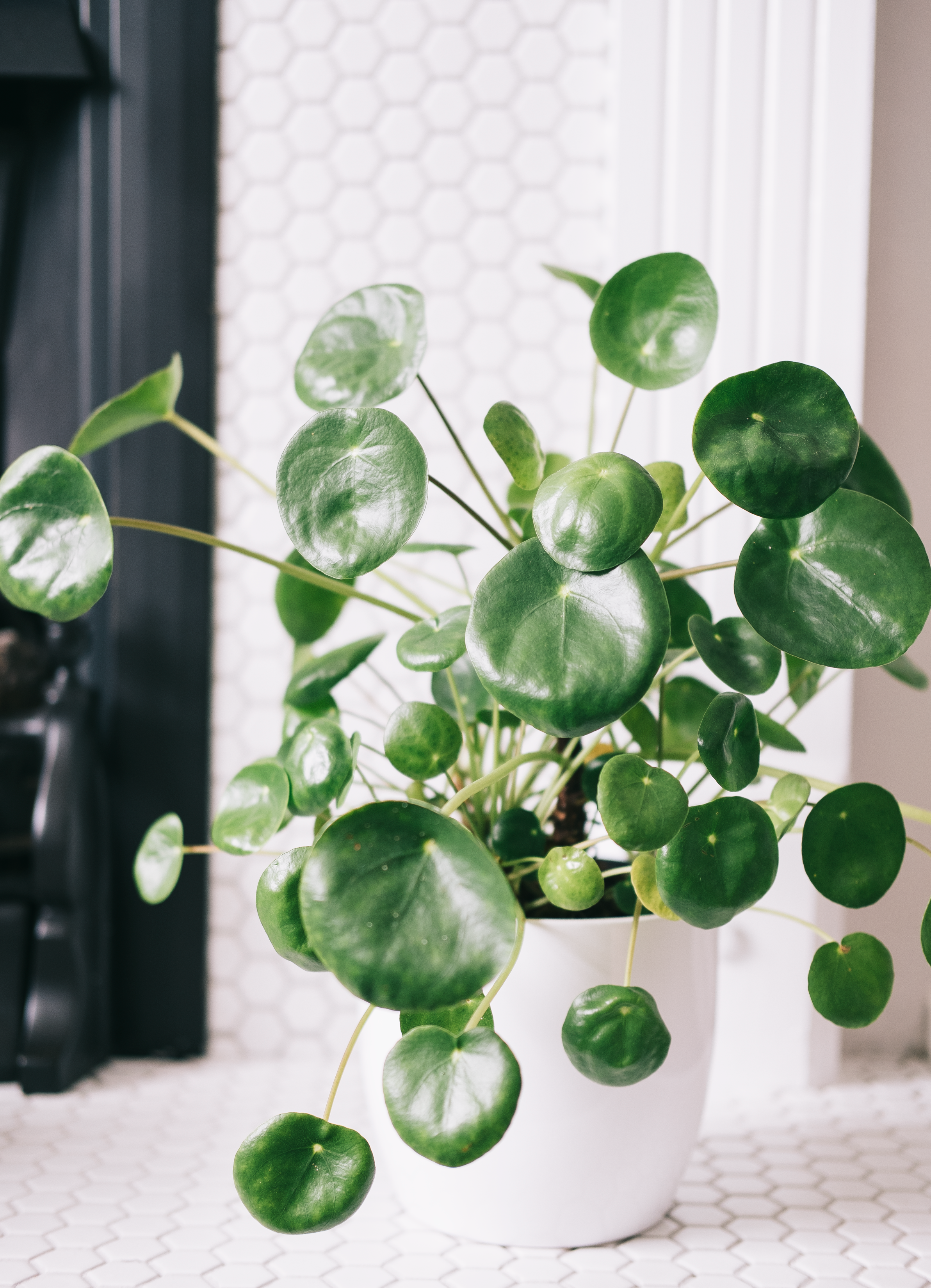 pilea peperomioides (chinese money plant) - I hunted for a pilea for months and then I spotted this one in a little plant shop pop up in Meadowhall and couldn't leave her behind. They're often known as Chinese Money Plants and there's a myth that if you pop a coin into the soil the plant will bring you fortune. Mine is very leggy which I absolutely love as I'm hoping to be able to propagate a couple of leaves as I cannot get enough of these beautiful plants and their super shiny leaves. Pilea are typically very easy to care for as long as they've got a good amount of light and are regularly watered, you do have to be very careful of root rot though. You can use a liquid fertiliser once a month to help encourage new growth but I've not done that with mine as she's already leggy enough and growing well without.