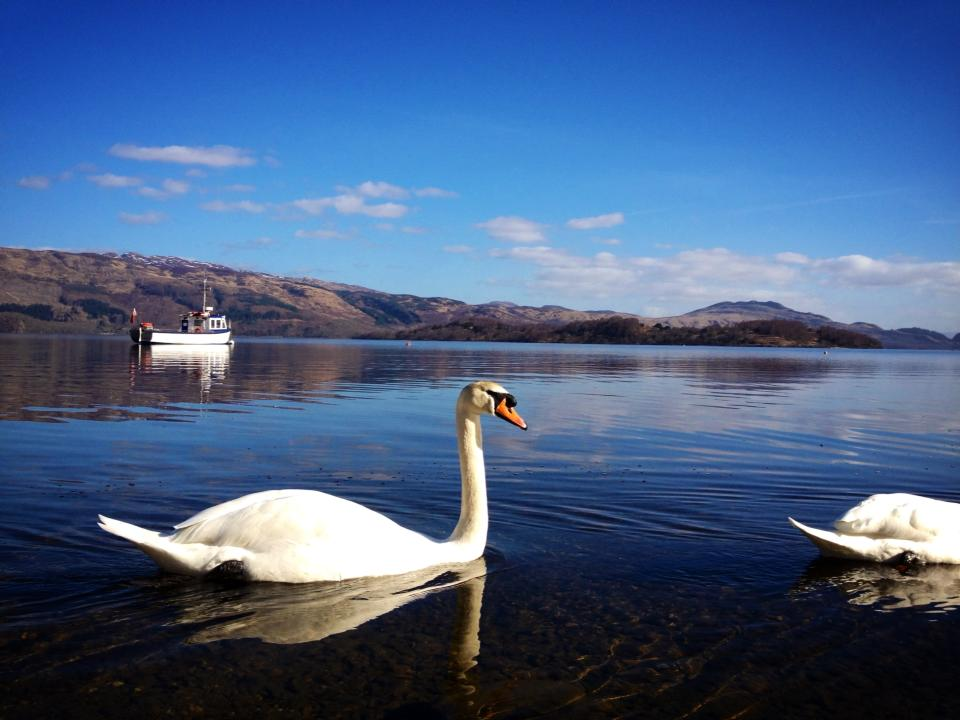 swans-with-loch-lomond-in-the-background