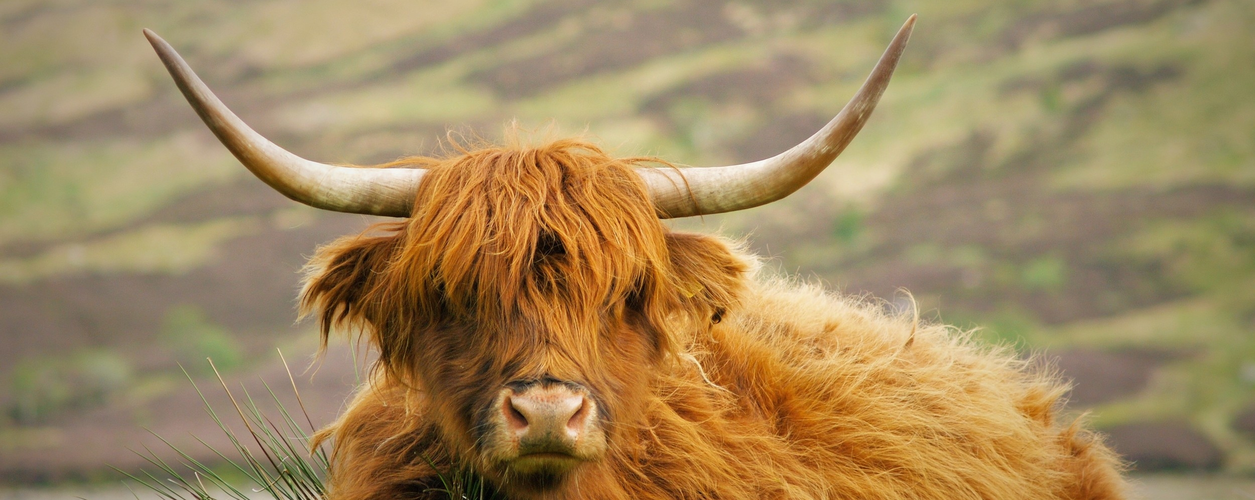 hairy-highland-cow
