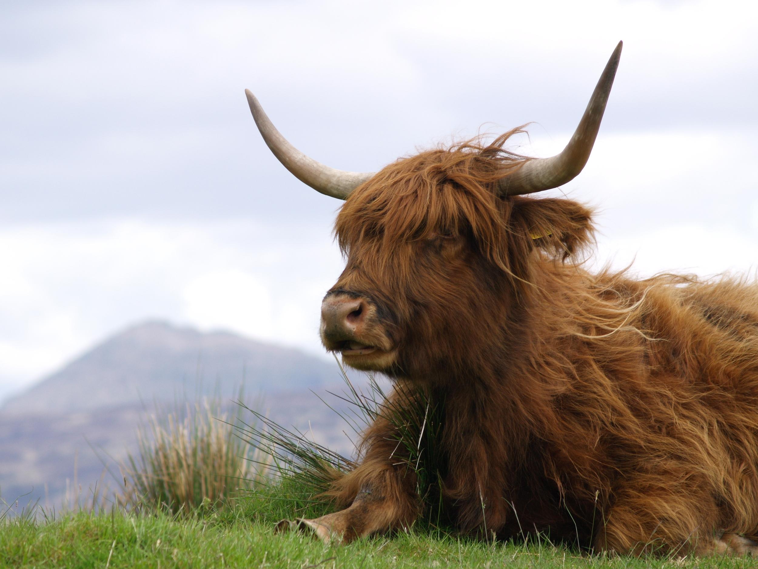 A big Highland Cow enjoying a bit of relaxation next to Loch Arklet (Scottish Gaelic, Loch Aircleid)