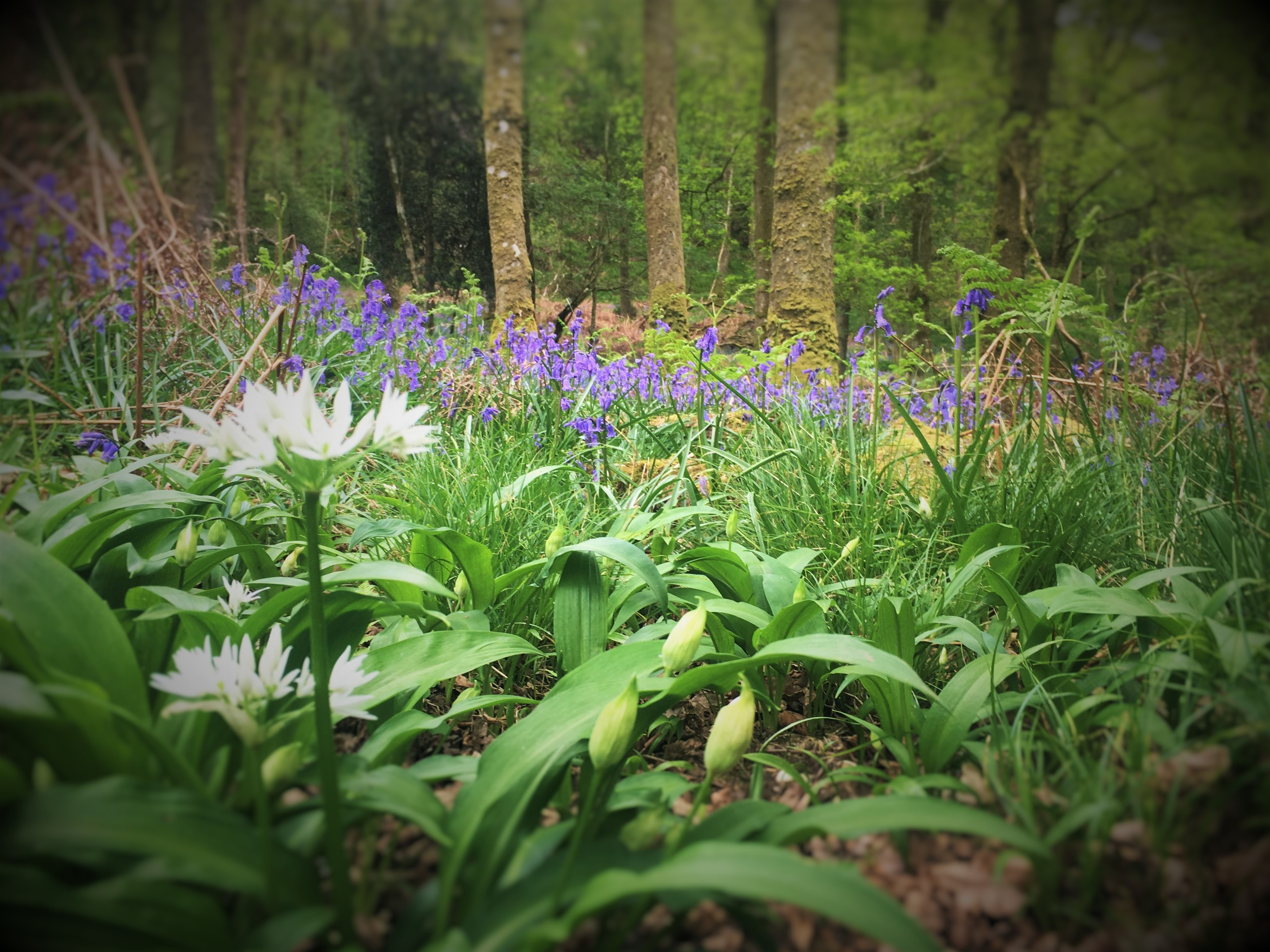 Inchcailloch Nature reserve fills up with lovely Bluebells and wild Garlic in Spring. The Garlic you can smell long before you see and the Bluebells you can see long before you reach them.   Inchcailloch is also home to bats which have taken up residence in the local National Park Ranger base.