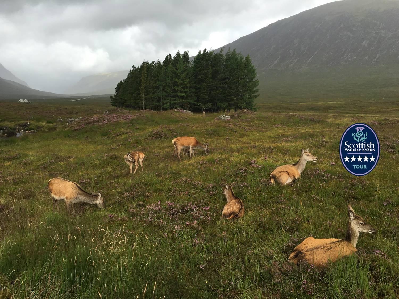 deer resting in glencoe