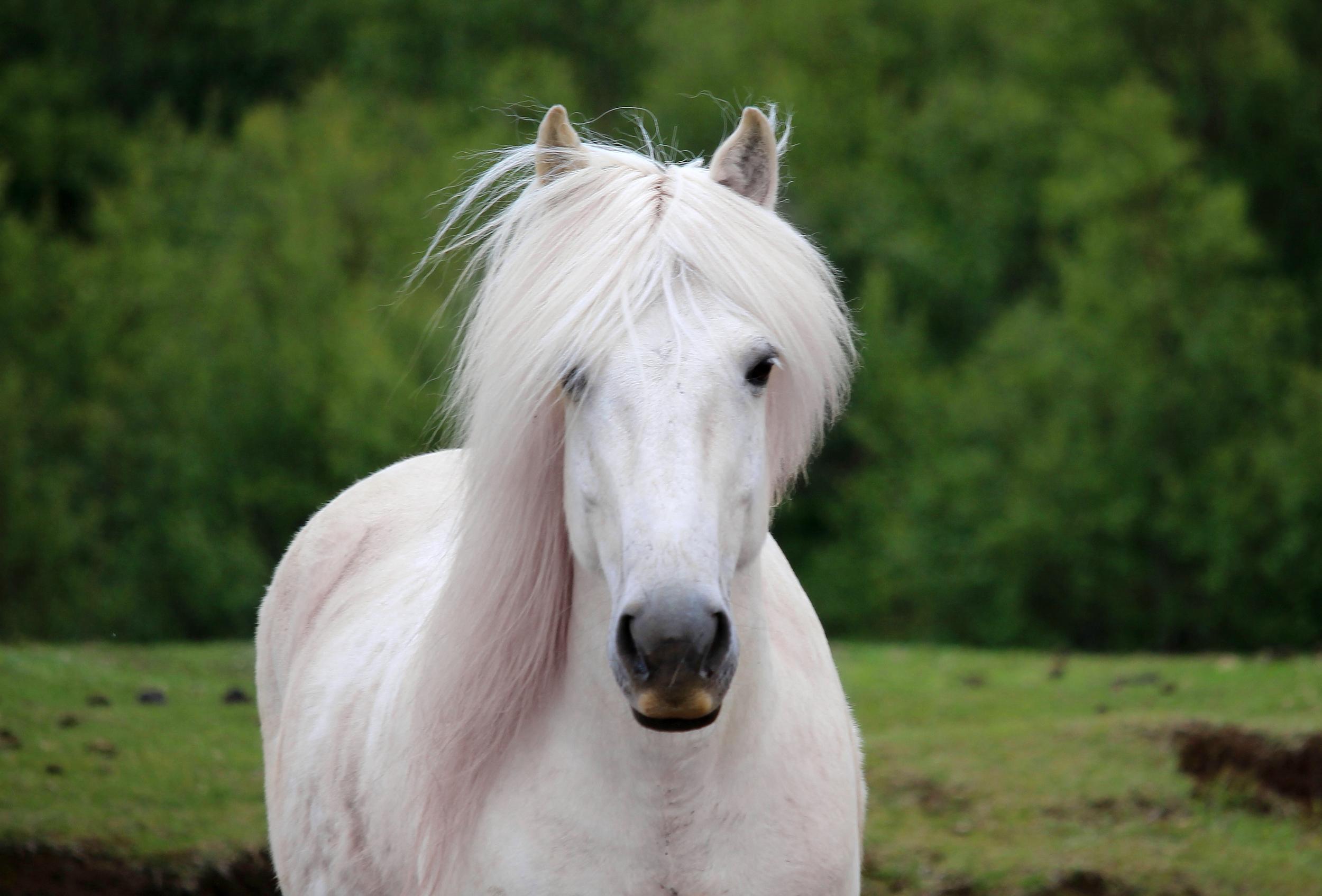 Icelandic Wild Horse