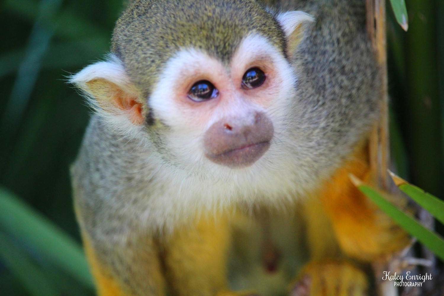 squirrel monkey kaley enright.jpg