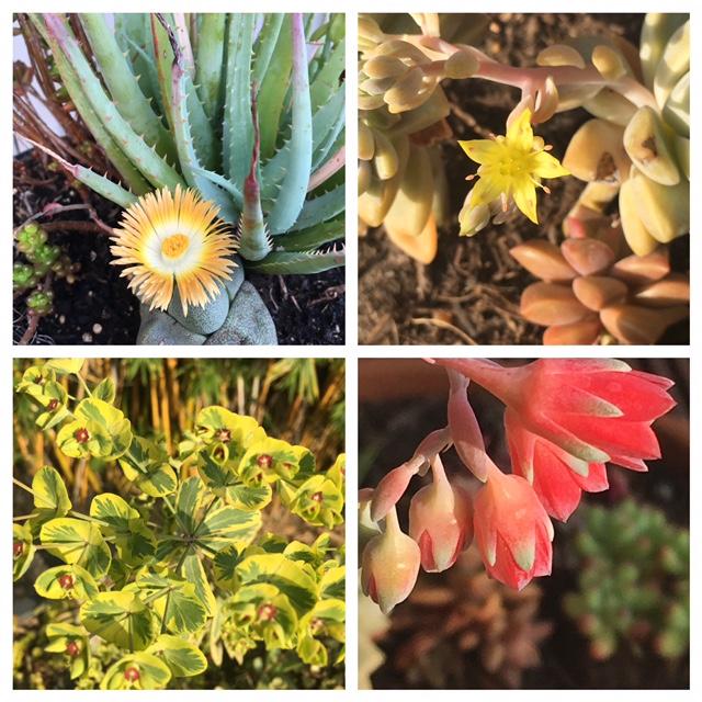 Spring Succulent Blooms