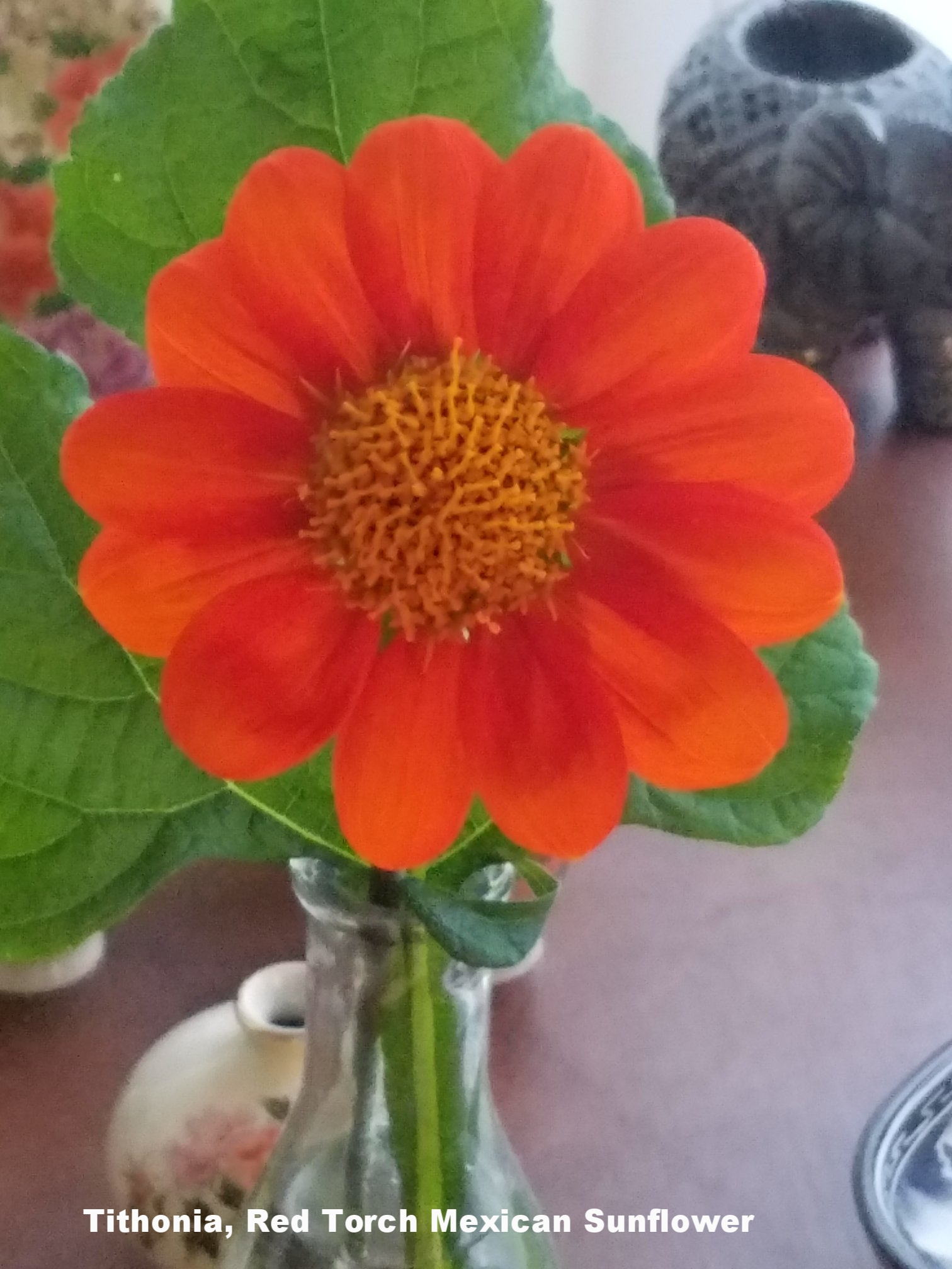 Tithonia, Red Torch Mexican Sunflower Bloom.jpeg