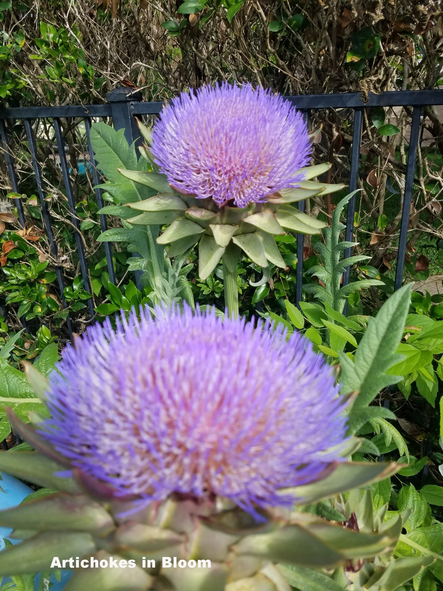 Artichokes in Bloom