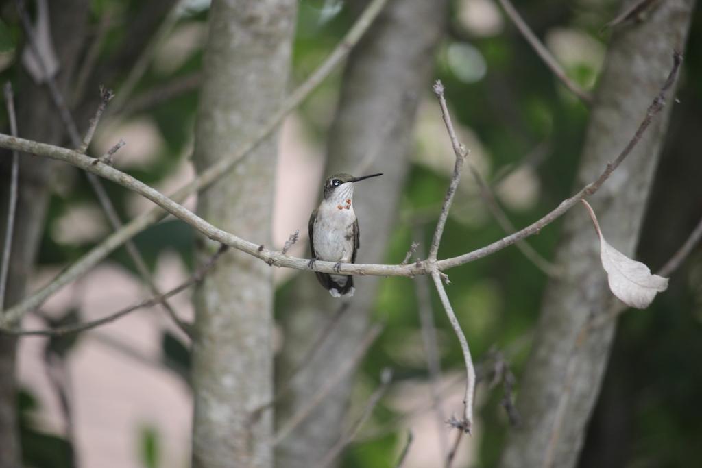 Santos Hummingbird 1.jpg