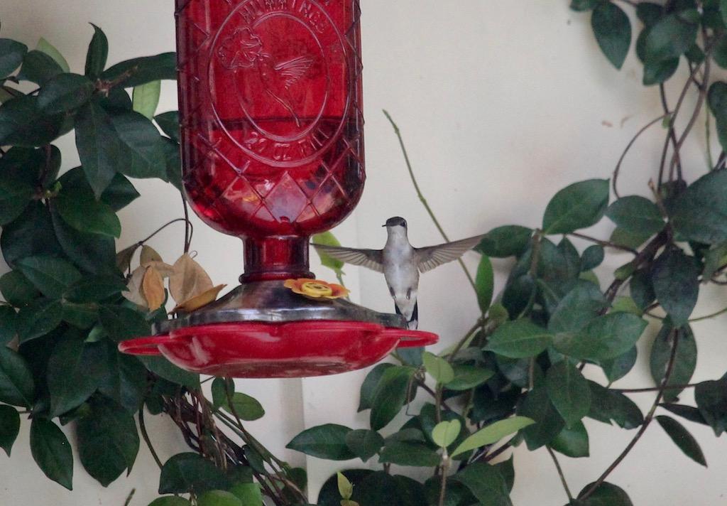 Santos Hummingbird 2.jpg