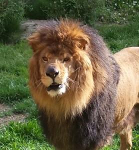 zoo boise lion