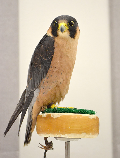 Taita_Falcon_at_the_World_Center_for_Birds_of_Prey,_Boise,_Idaho,_USA.jpg