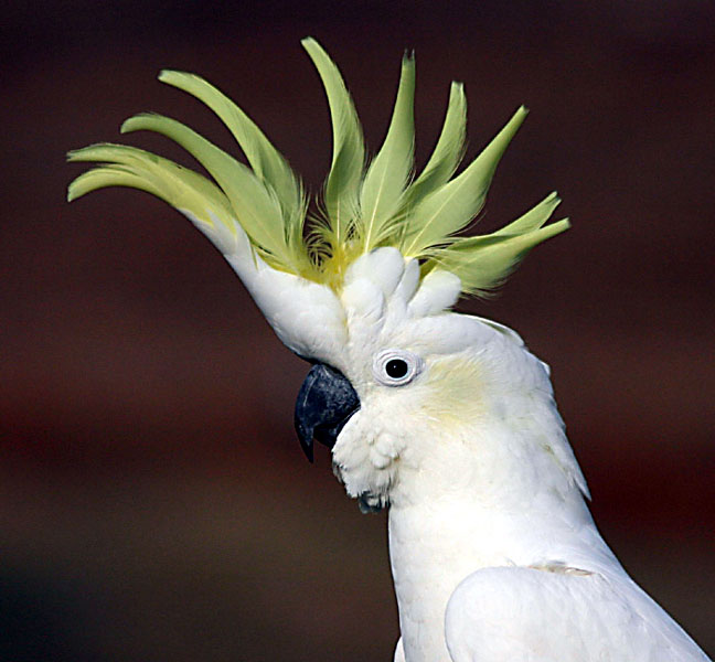 Sulphur-Crested-Cockatoo.jpg