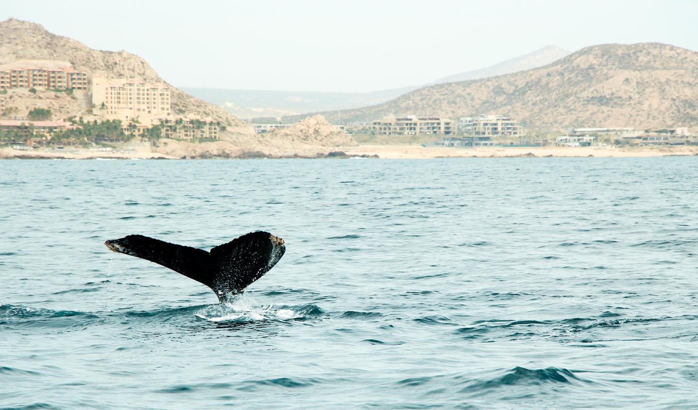 Whale's tale | Cabo San Lucas, Mexico