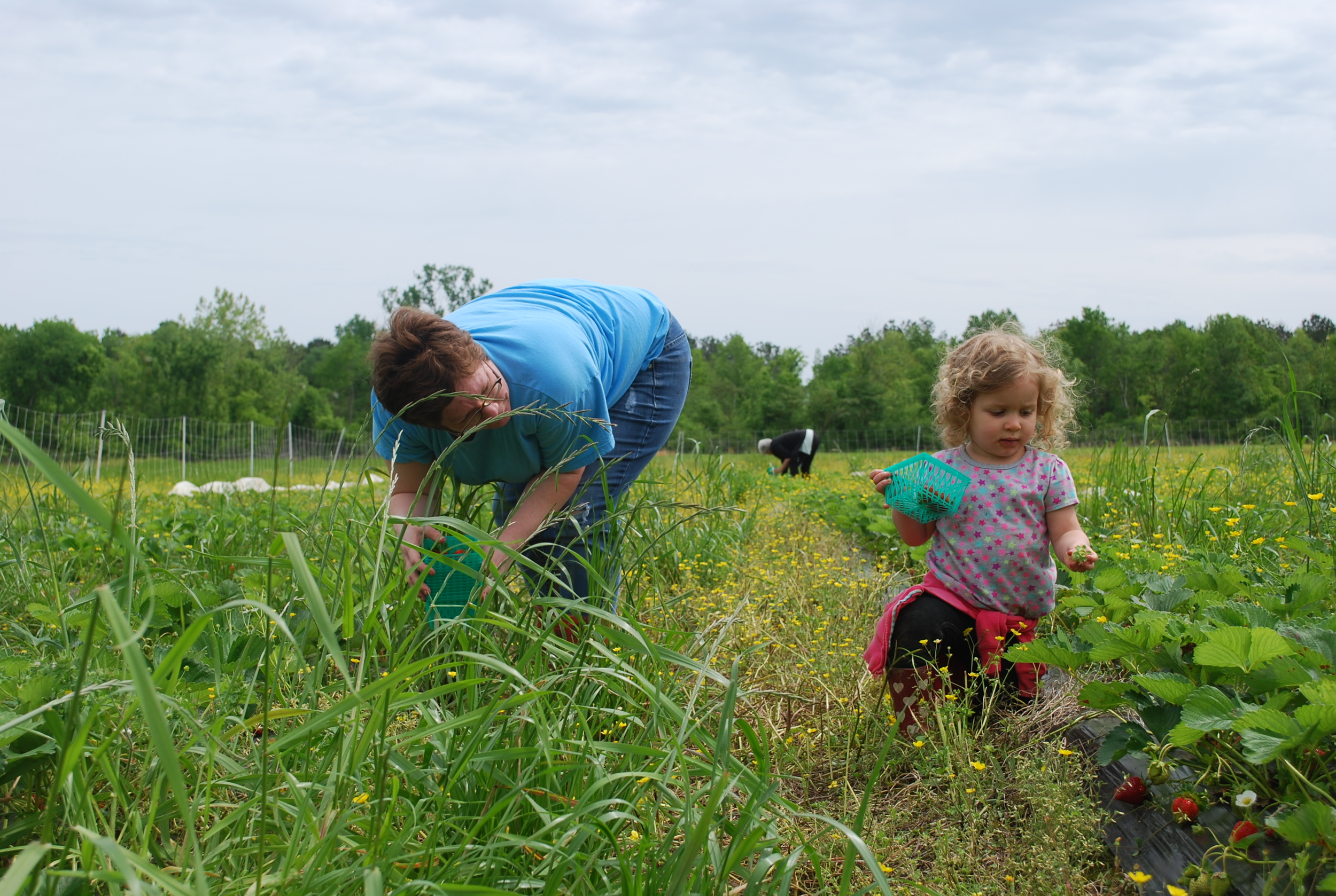Meredith and her cute helper harvesting strawberries at Native Son Farm last April.