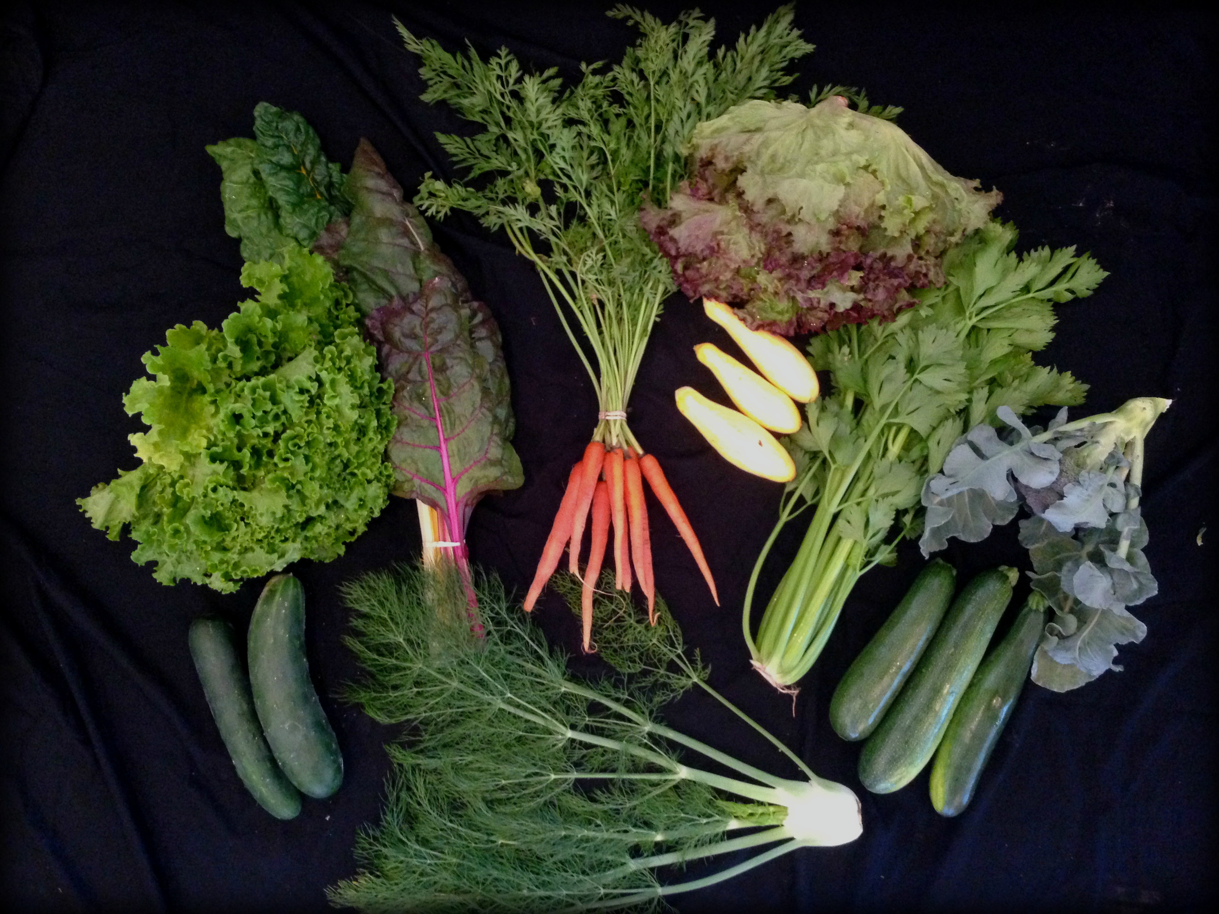 Green leaf lettuce, red leaf lettuce, chard, broccoli, celery, fennel, cucumber, zucchini, summer squash, carrots