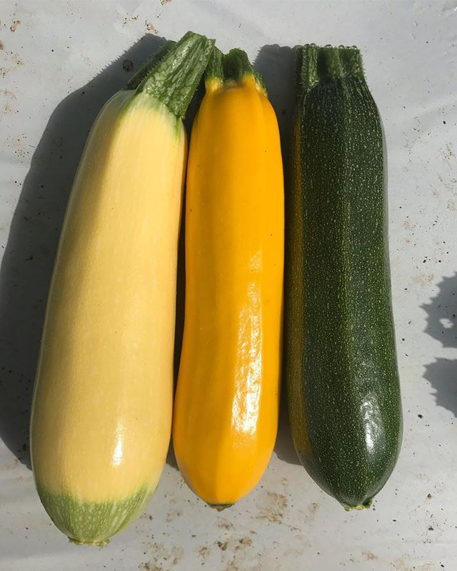 This year we're growing some beautiful varieties of #zucchini , yes you read correctly, all three of these babies are zucchini despite they're beautiful color variants. The taste and texture is very similar so you can mix and match your colors for a variegated plate of #zoodles without worrying about changing your cooking methods!