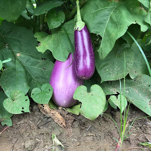 What's everyone cookin' up with this eggplant they got in their shares?  We got great feedback on shishito recipes so let's hear it for these colorful veggies!