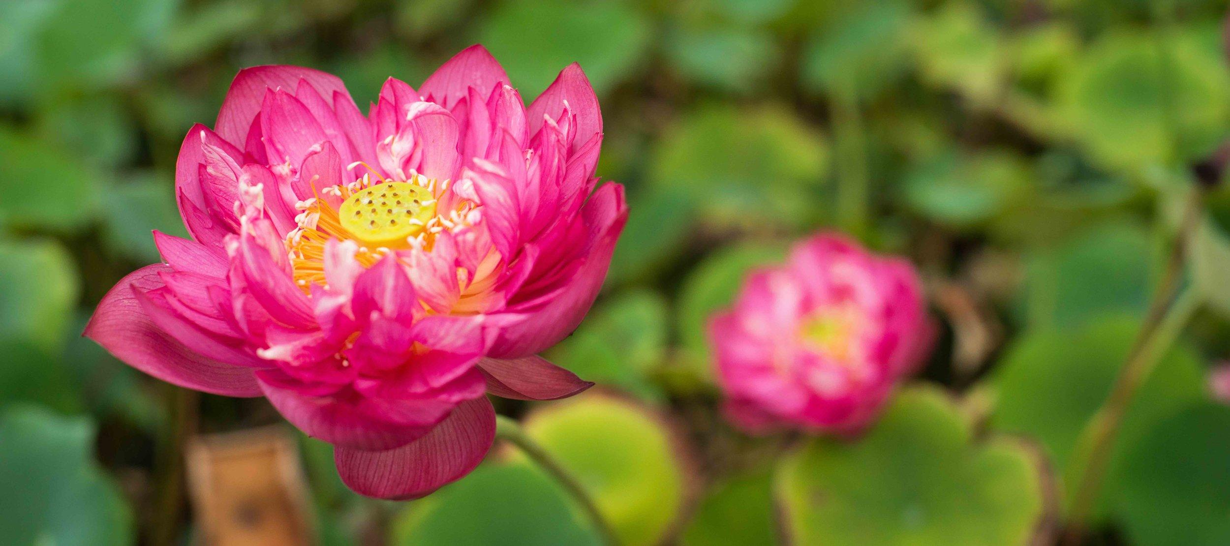 lotus flower LR.jpg
