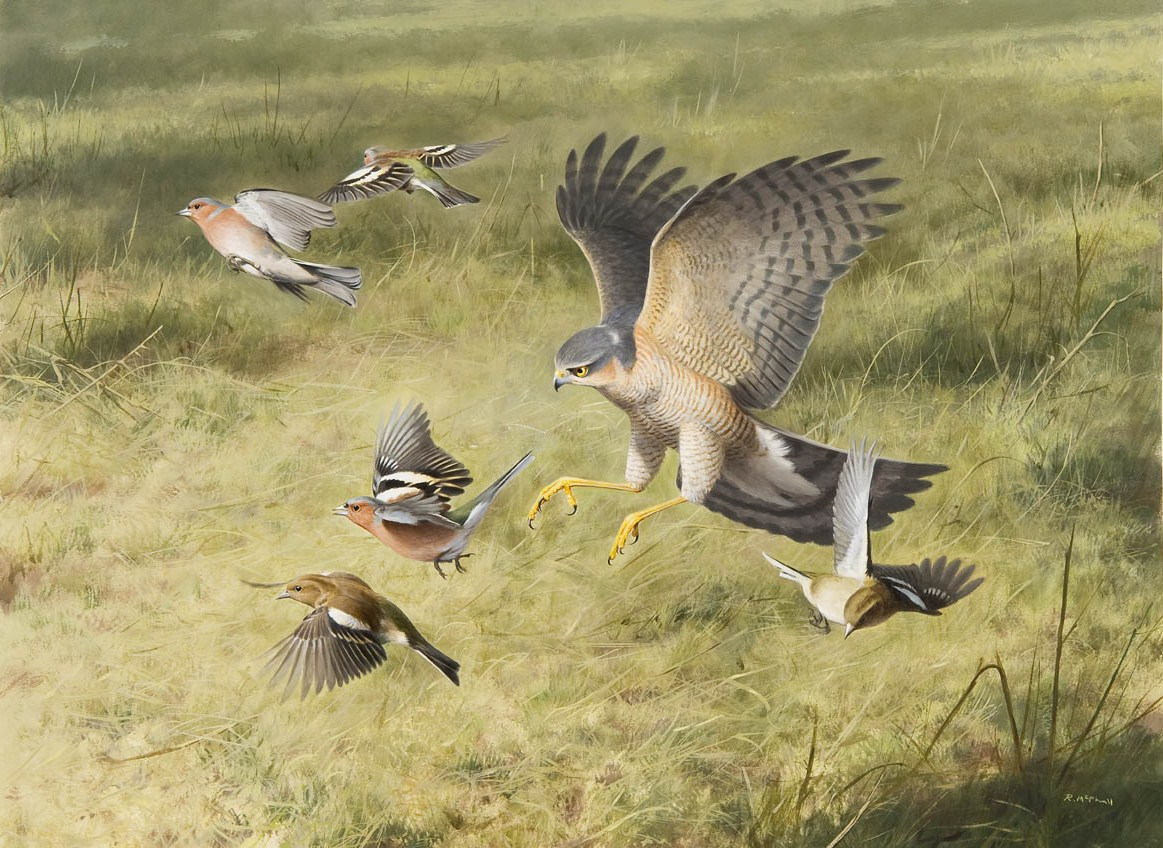 Sparrowhawk and Chaffinches