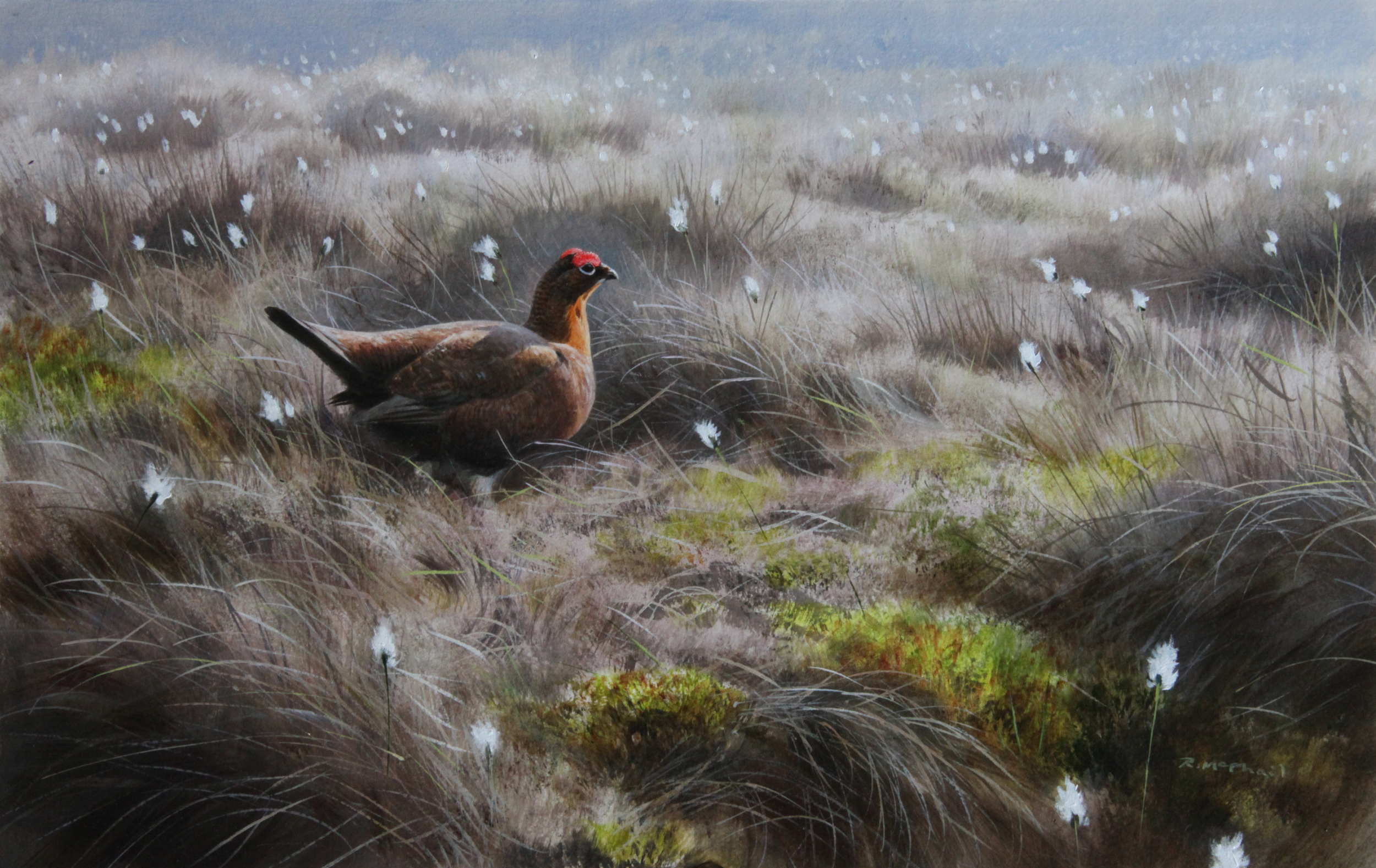 Grouse in Cottongrass