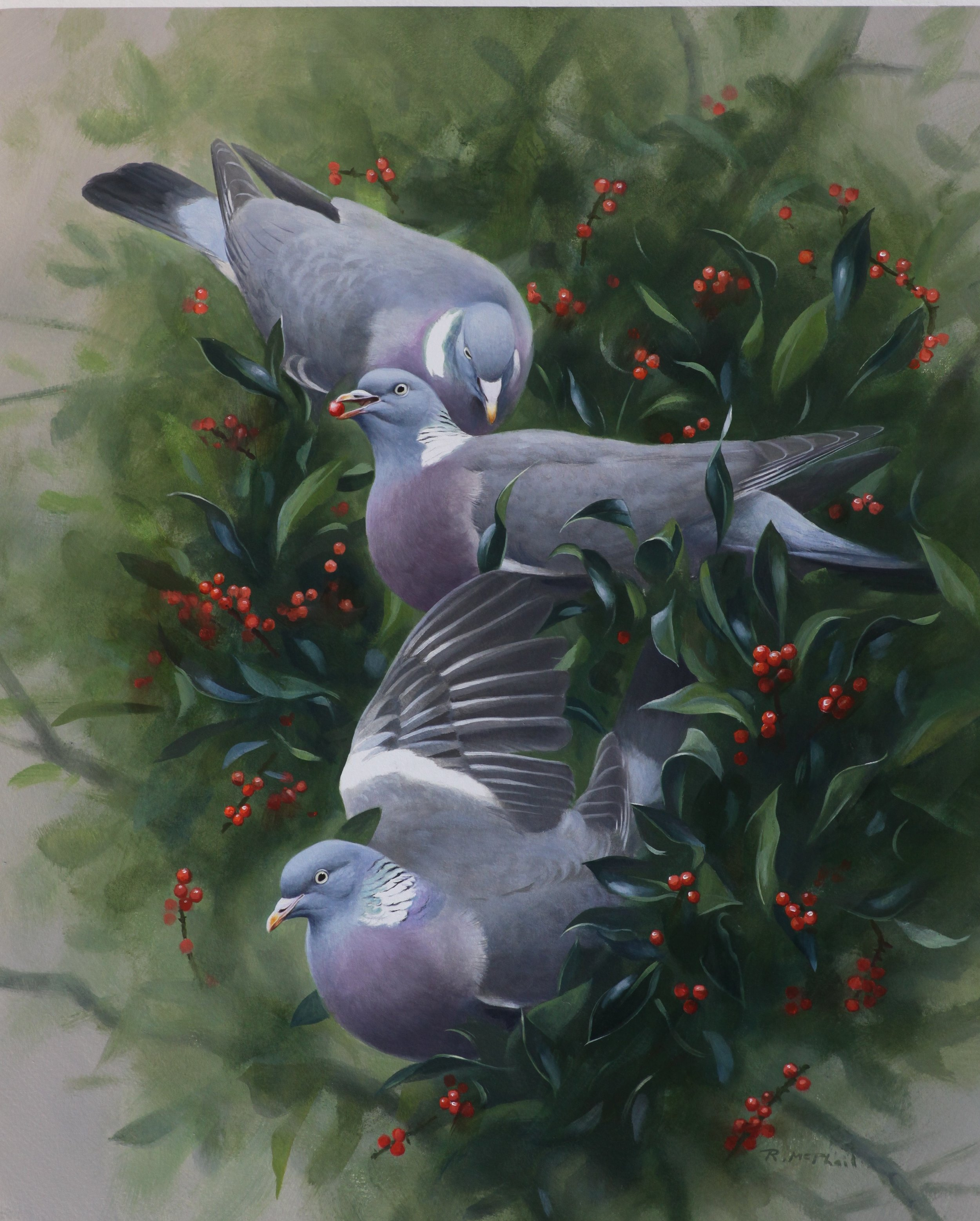 Wood Pigeons on Holly
