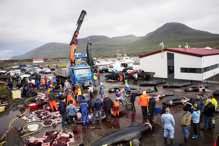 People gather in a parking lot filled with whale carcasses to cut and distribute meat after a whale hunt in the Faroe Islands. A child surveys whale carcasses laying on the beach in the Faroe Islands. Photo © Katie Currid