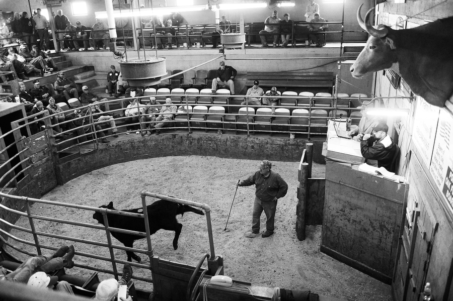 Auctioneer Jeff Showalter calls out while a calf is shown during a cattle auction at the Staunton Union Stockyard on Thursday, April 27, 2014, in Staunton.