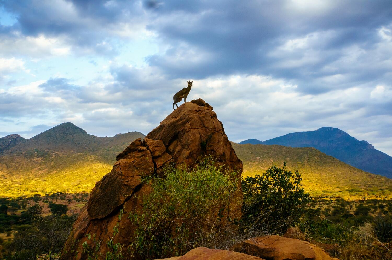 Klipspringer Tsavo East Kenya