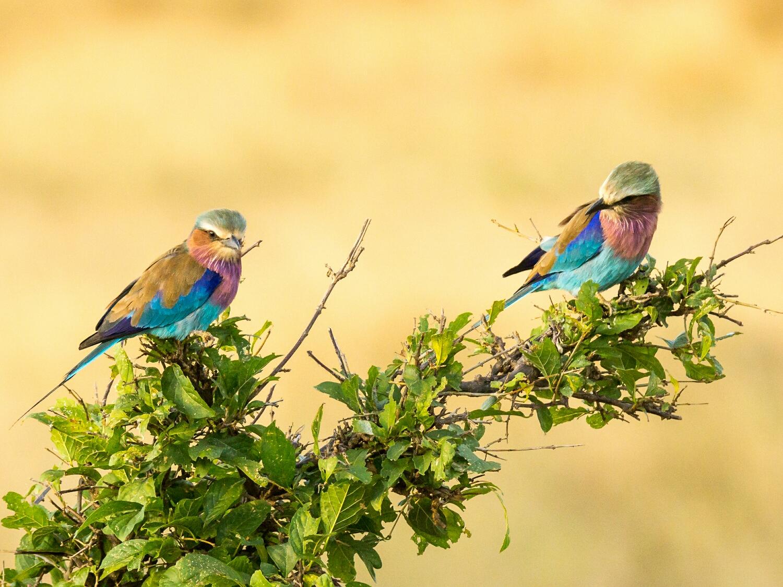 Tsavo Wesr Kenya - Lilac Breasted Rollers