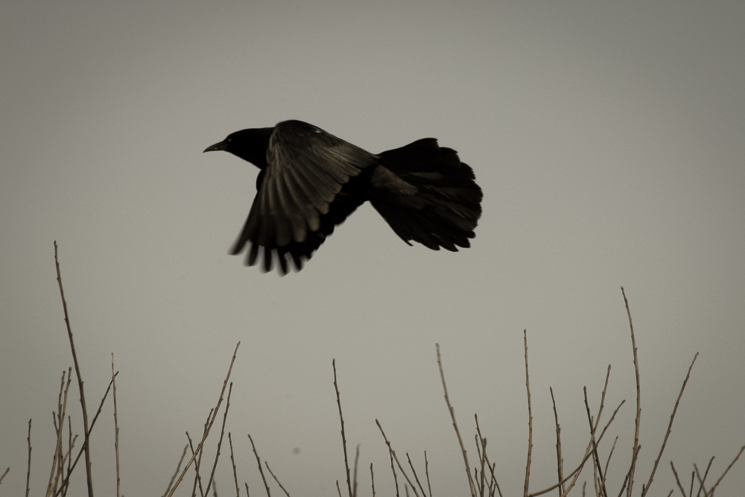 Quothe the Grackle