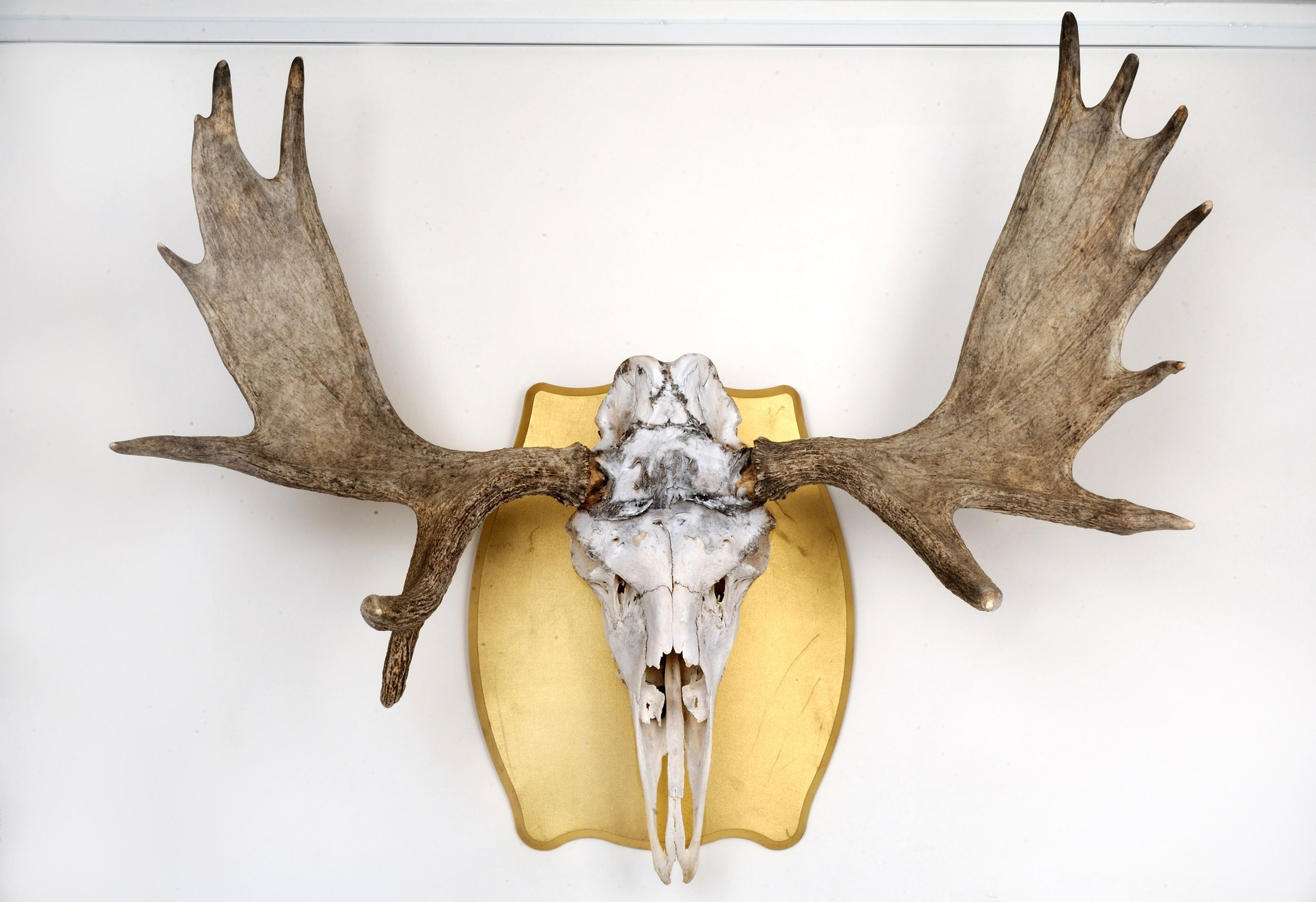 "Trophy   Moose skull and gold lameé  36"" x 42""  $1500   Click here to inquire ."