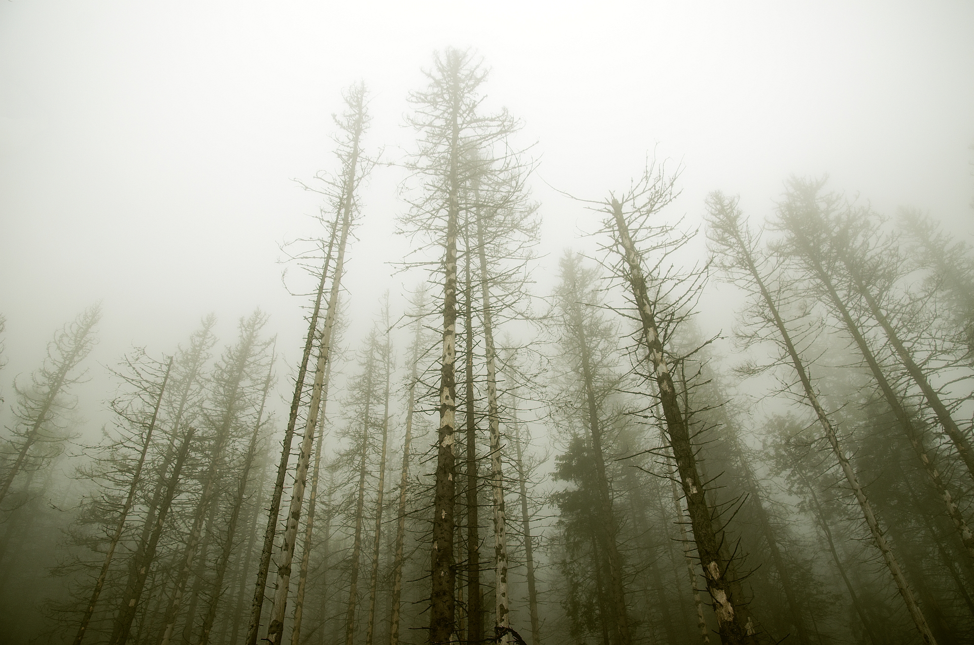 fogwoodweb.jpg