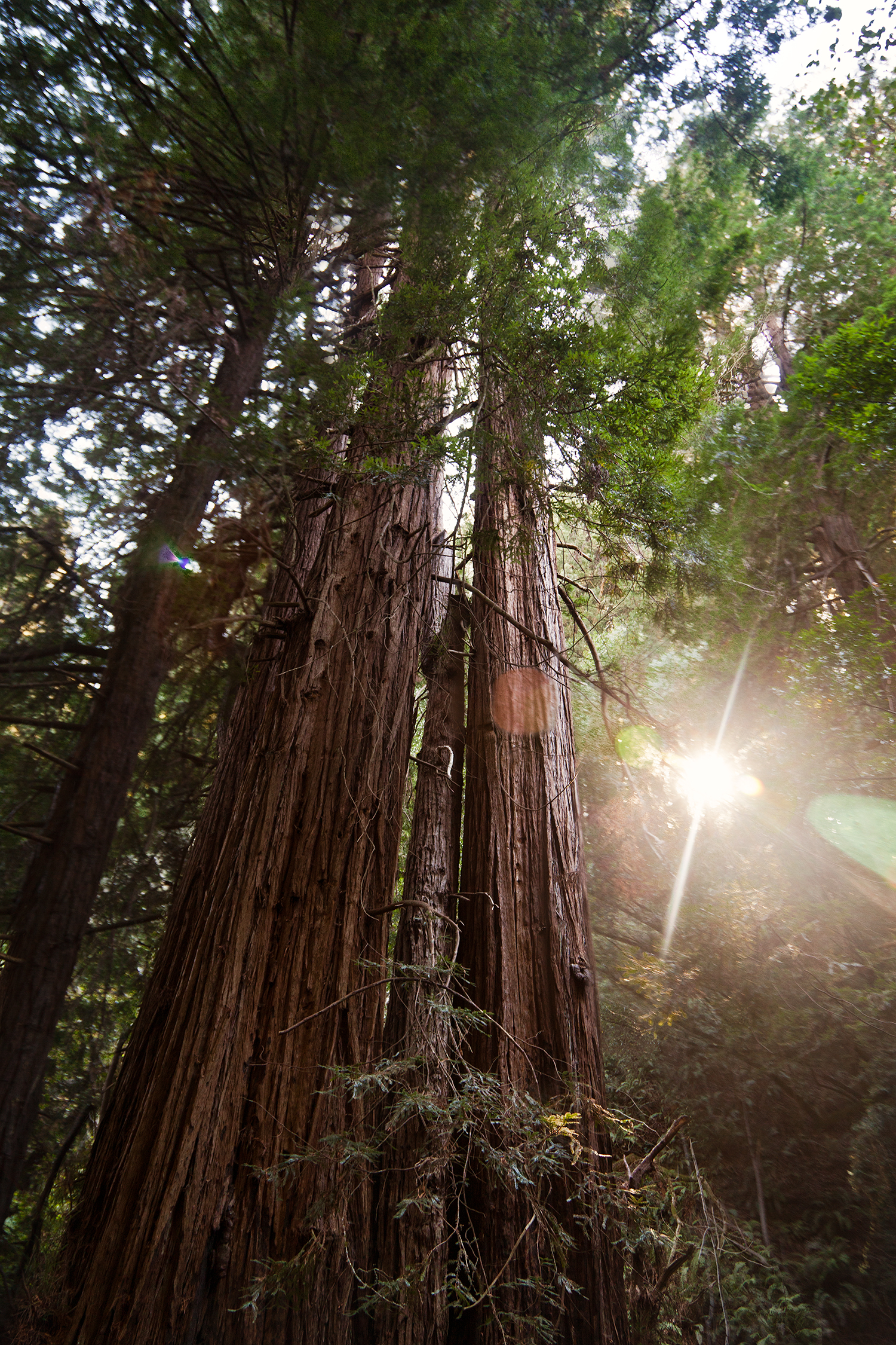 muir woods redwood tree and sunlight.jpg