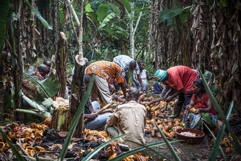 Cocoa harvest, Ivory Coast