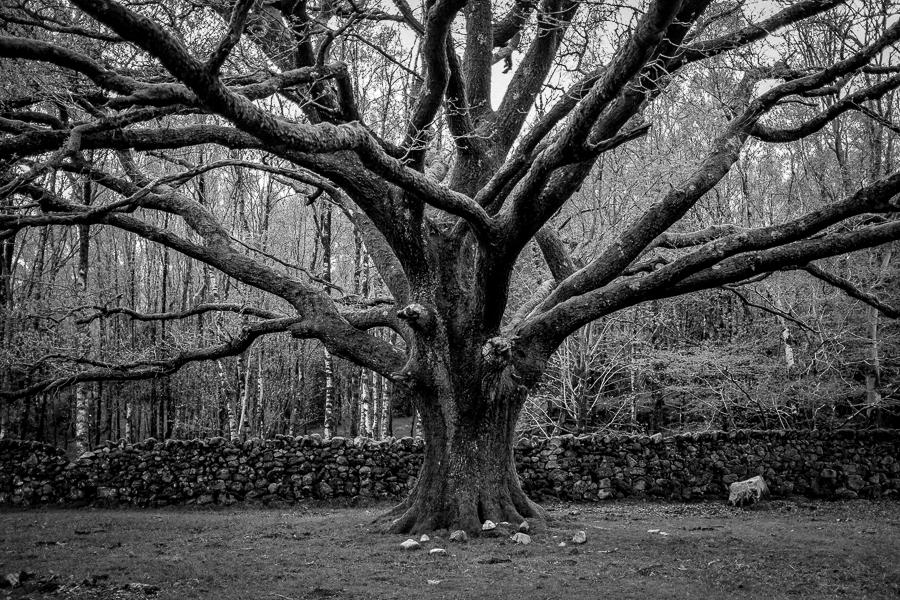 Eskdale Oak
