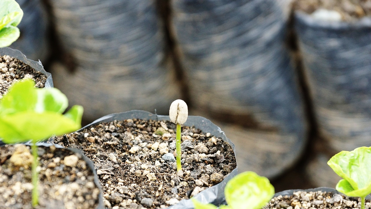 High Altitude Coffee Seedlings