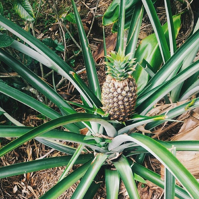 You learn things. Real life things. Like that pineapples grow from a bush(?) and only one at a time. I guess a tree with fifty 5-pound hanging pineapples weighing it down didn't really make that much sense, now that you think about it.
