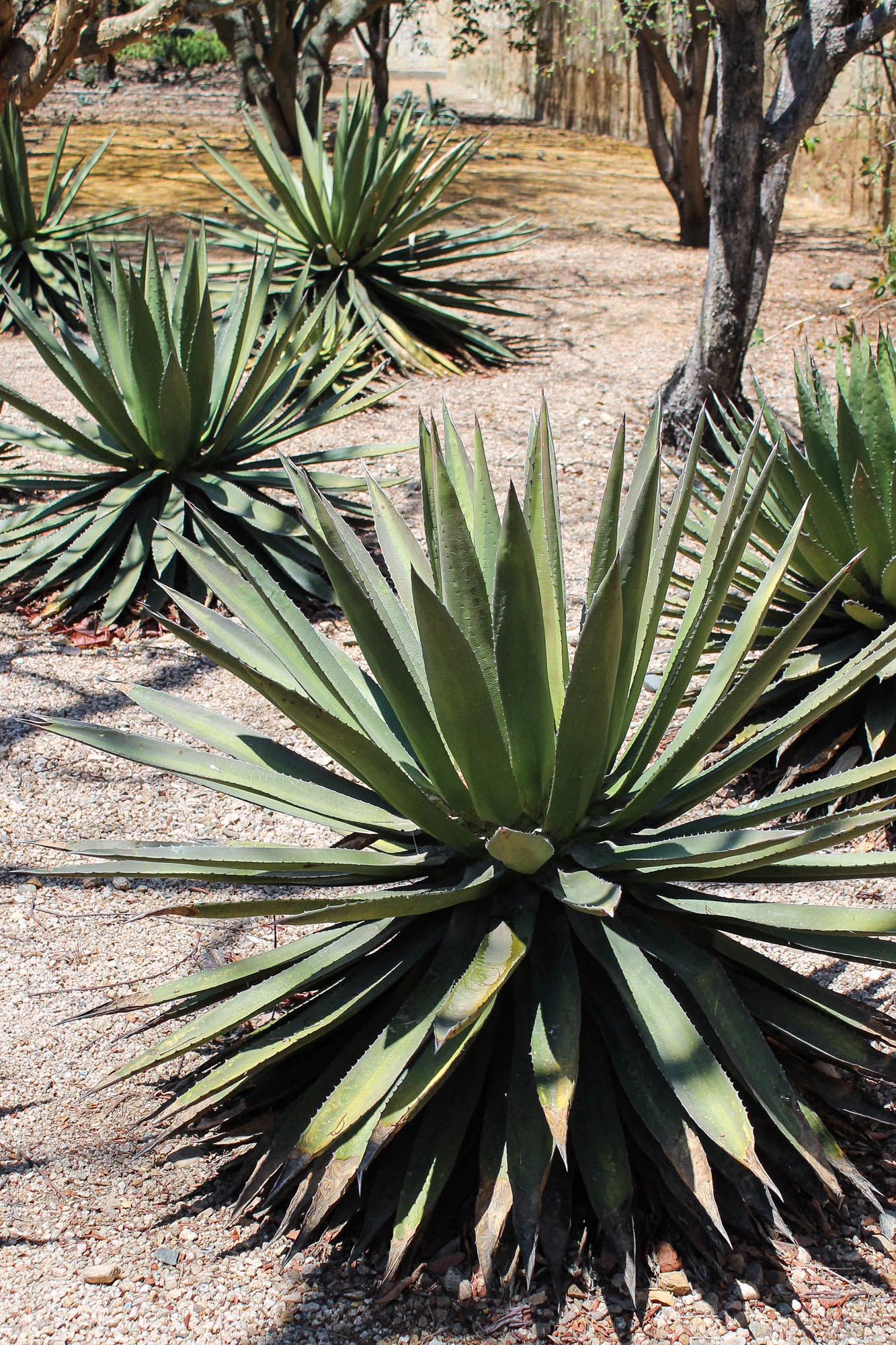 Agave (maguey) plant