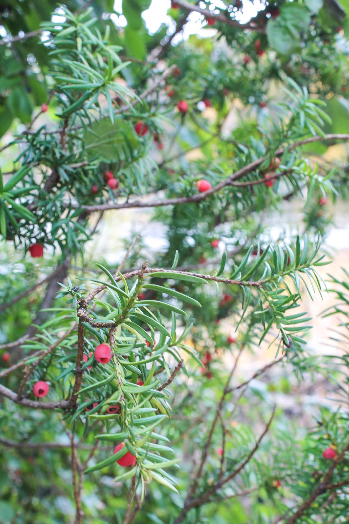 Yew Tree || creamandhoney.ca