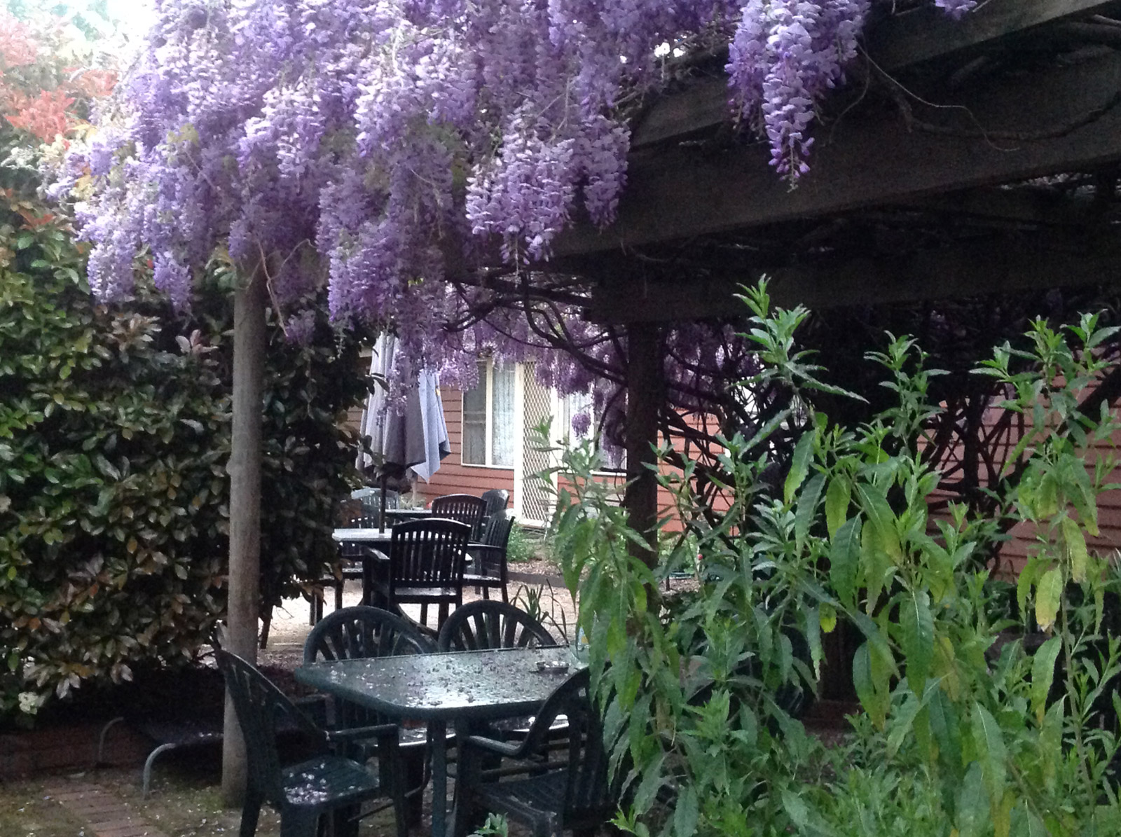 Our magnificent wisteria