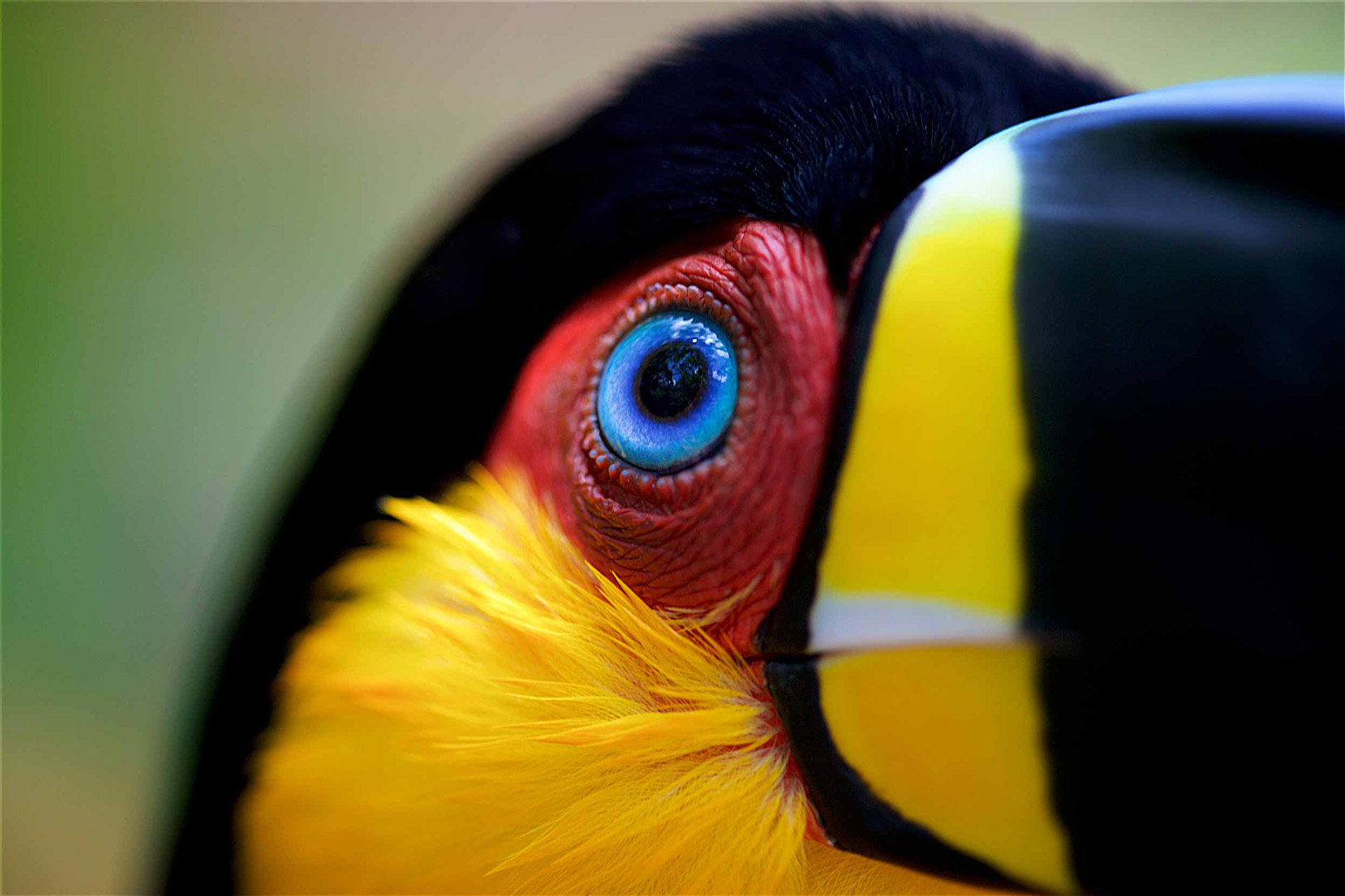 WILDLIFE TRAVEL PHOTOGRAPHY Channel-billed ariel Toucan, brazil