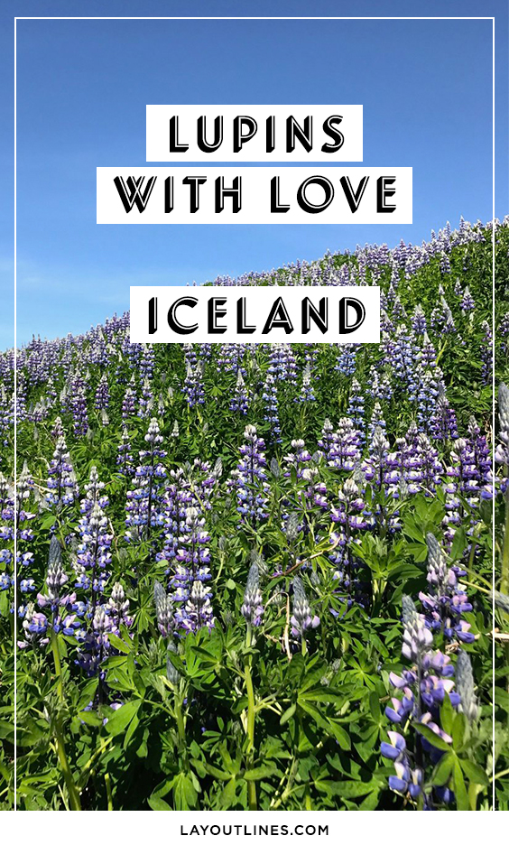 Iceland Lupins
