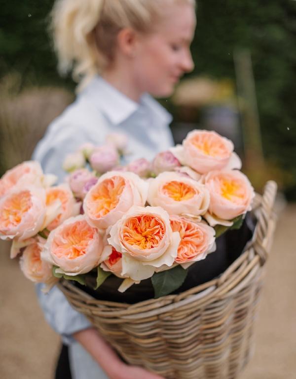 Garden roos Juliette - een echte eyecatcher en een hele fragiele roos.