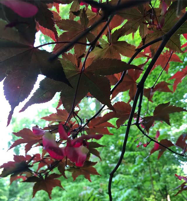 In love with this Japanese maple tree & it's fuchsia seed keys! I mistakenly thought it was a sweetgum tree all winter! So much to learn! The leaves will make beautiful ink in the fall🌿