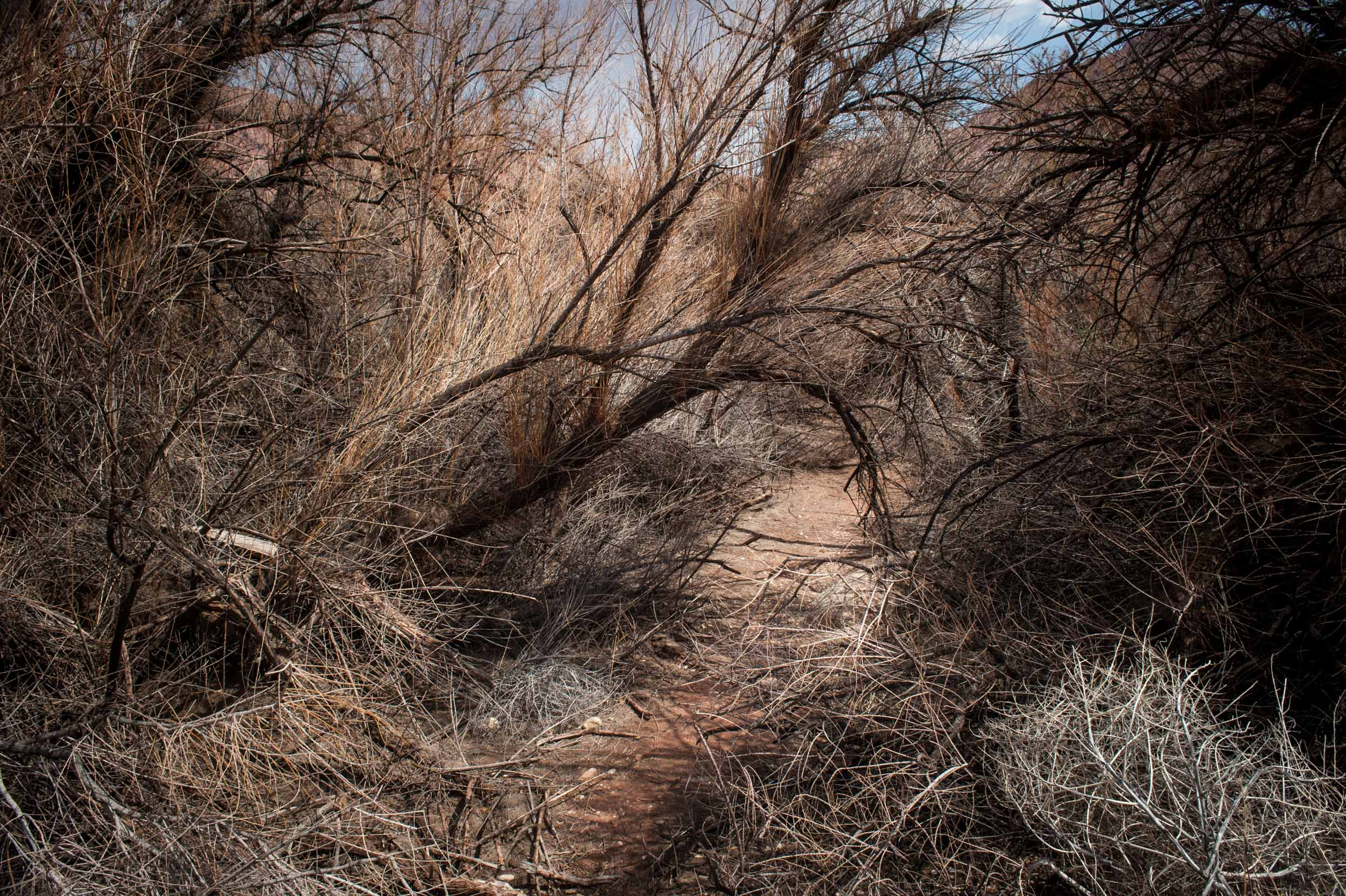 Heavy brush near the fork of the Paria and Colorado rivers. Northern Colorado Plateau, Arizona.