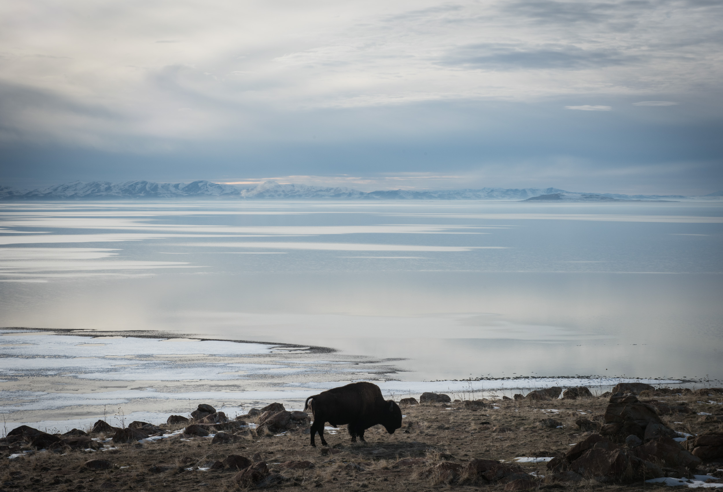 A bison grazing at Antelope Island State Park at the Great Salt Lake, Utah.