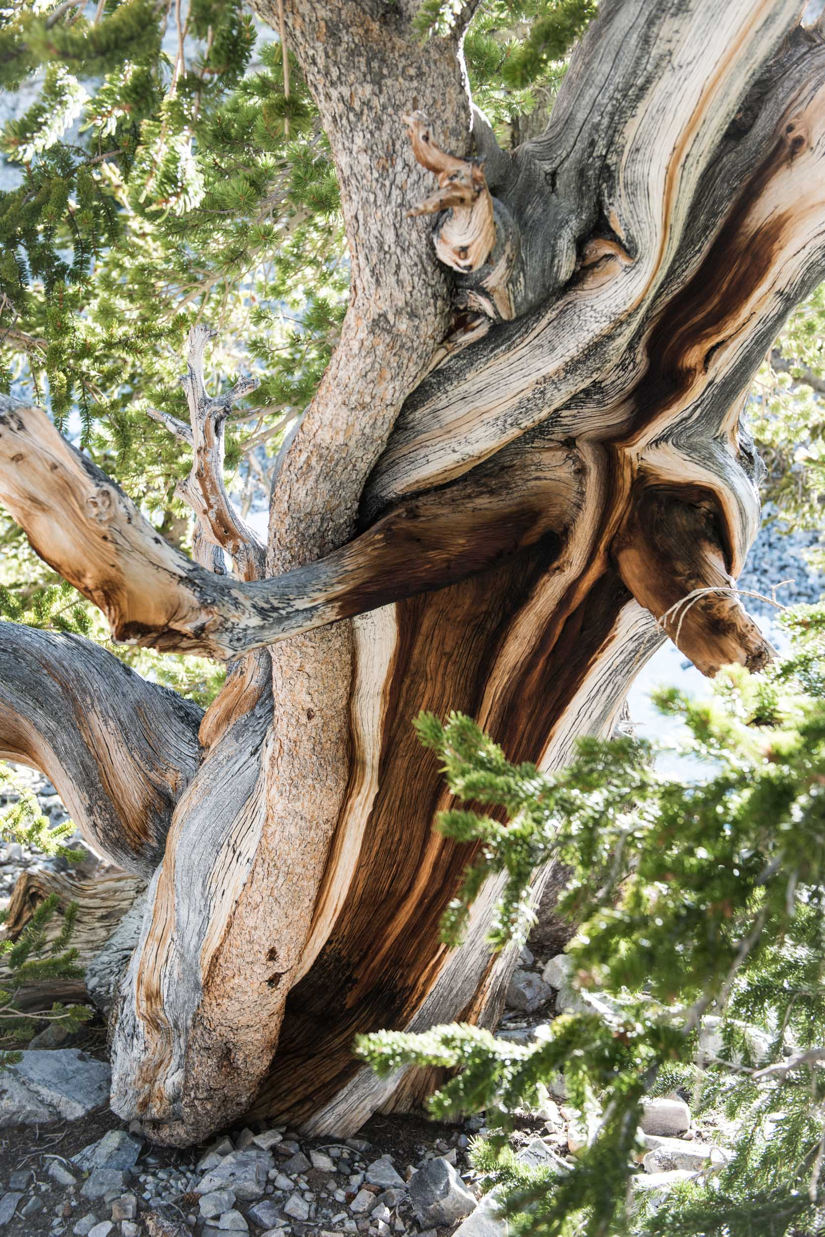 Some of these bristlecone pine trees have been alive since Egypt built pyramids. This one survived a wildfire. Great Basin National Park, Nevada.